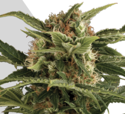 Auto Pounder marijuana seeds