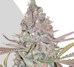 Berry Ryder Auto marijuana seeds