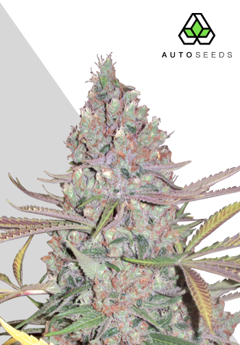 Berry Ryder Auto marijuana seeds