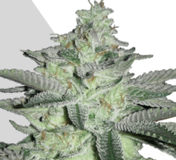 Diesel Berry auto marijuana seeds