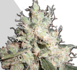 Hijack autoflowering marijuana seeds