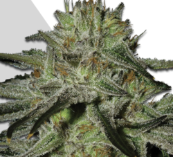 Kush Doctor auto marijuana seeds