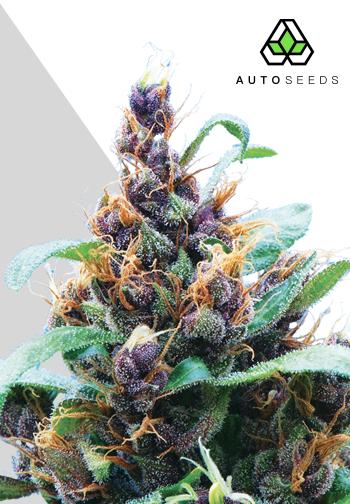 Purple Stilton auto marijuana seeds