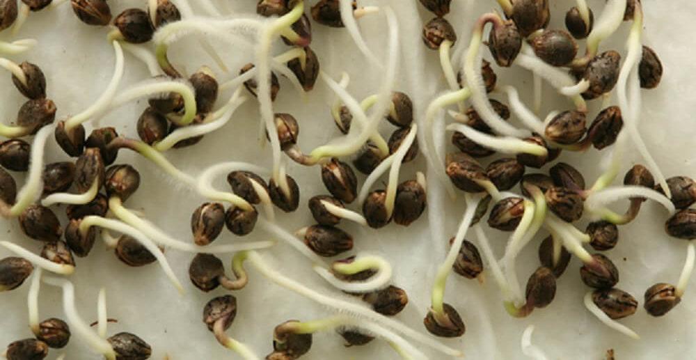 germinating marijuana seeds