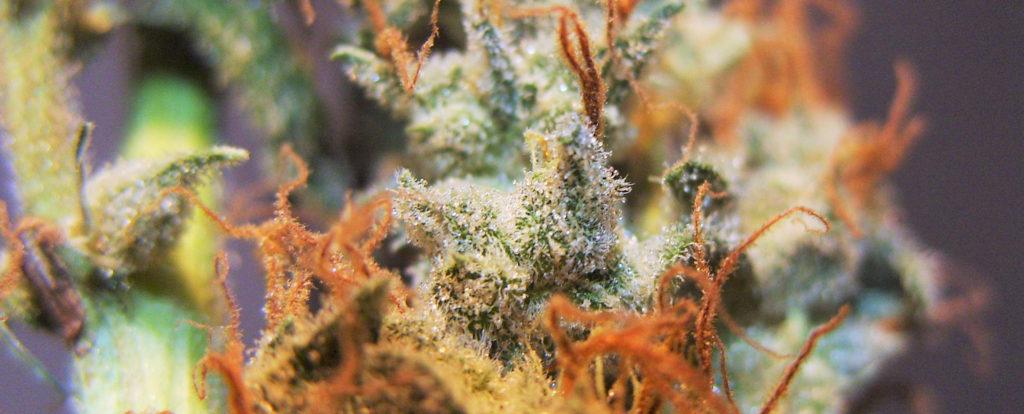 harvesting marijuana buds