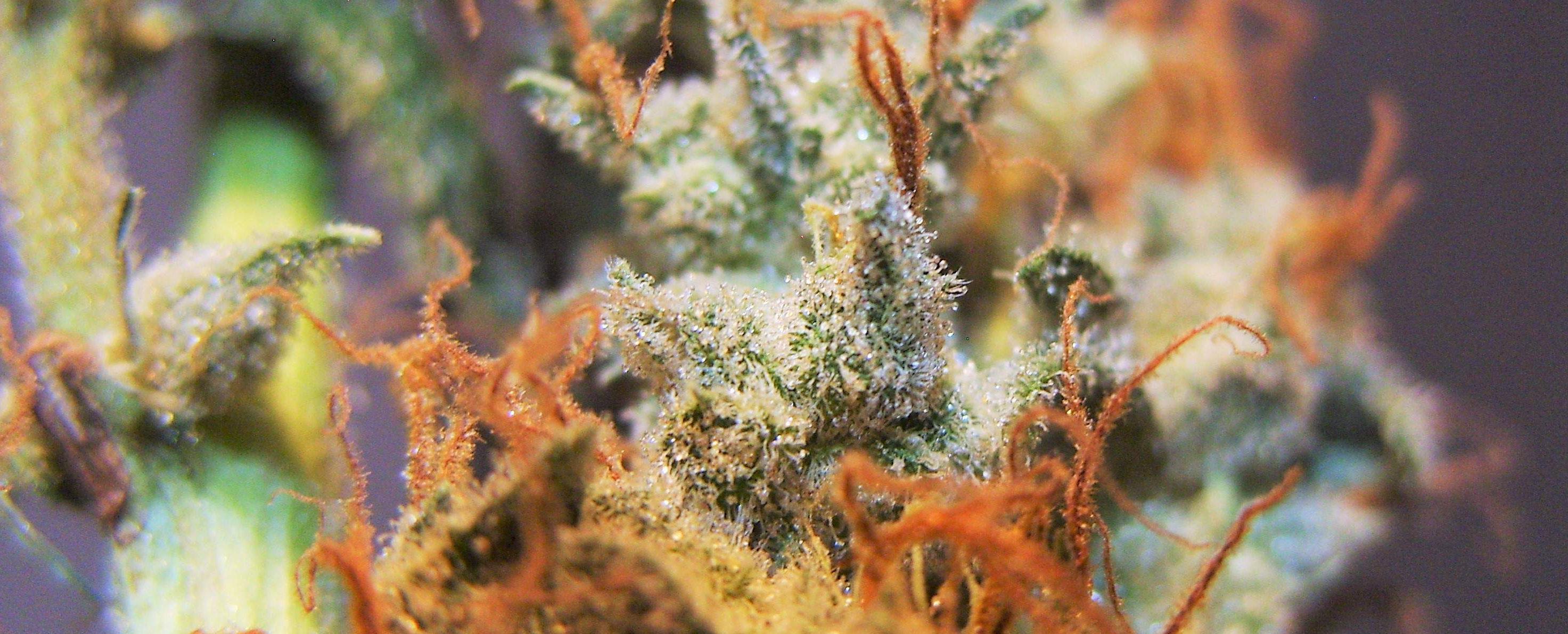 How to Grow Autoflowering Marijuana Seeds - Auto Seeds