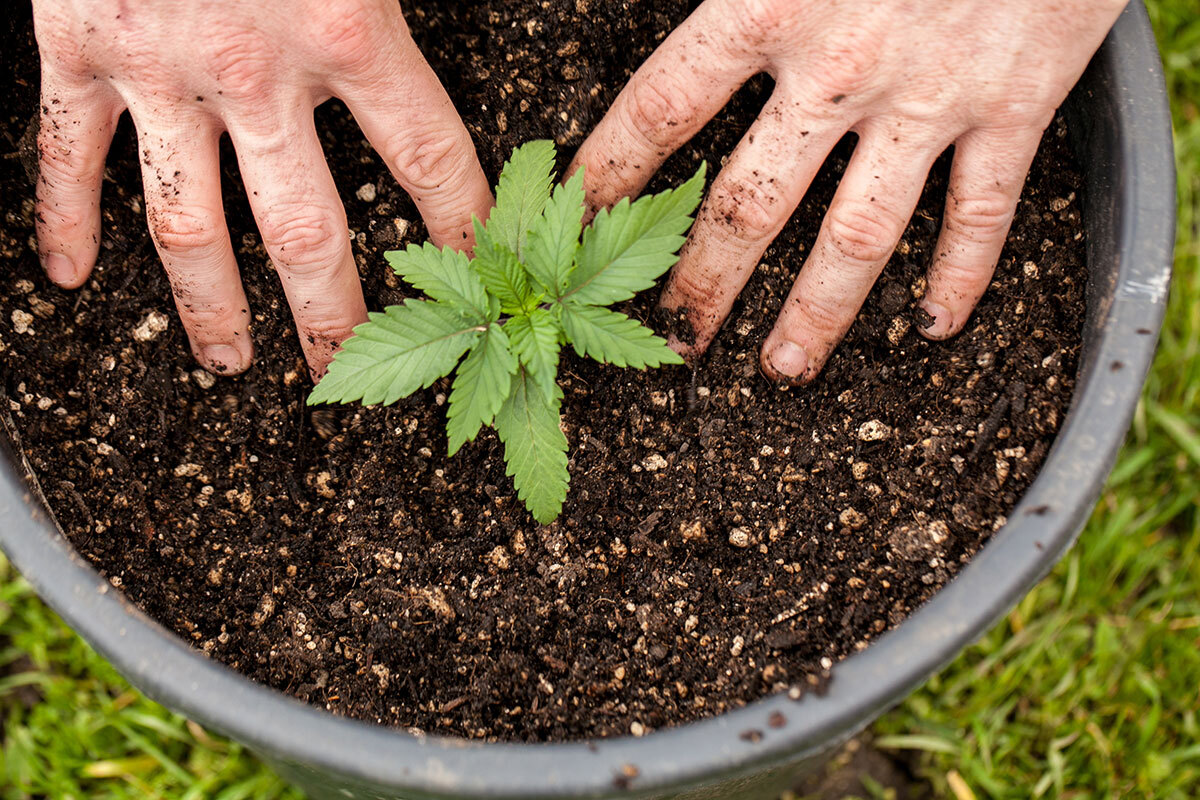 Planting a young cannabis plant outdoor