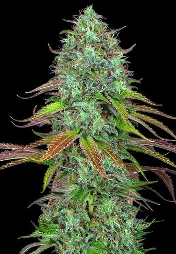 Image of LSD Auto marijuana strain