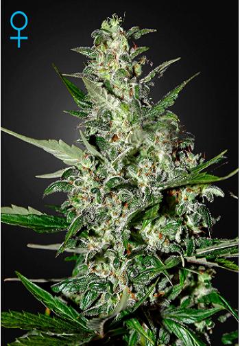 Image of Super Critical Auto marijuana plant