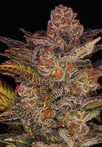 Image of Glueberry Auto marijuana strain