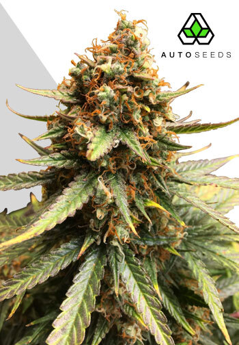 Image of Juicy Lucy marijuana strain
