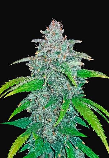 Image of Blue Dream'matic marijuana plant