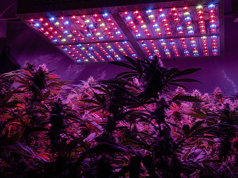 Weed plants under light