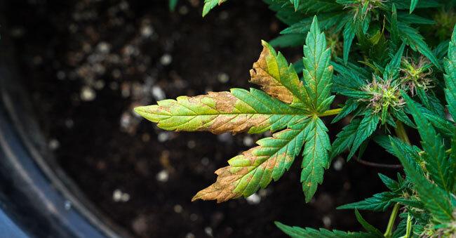 Nutrient Deficiencies Marijuana Plants Yellow Cannabis