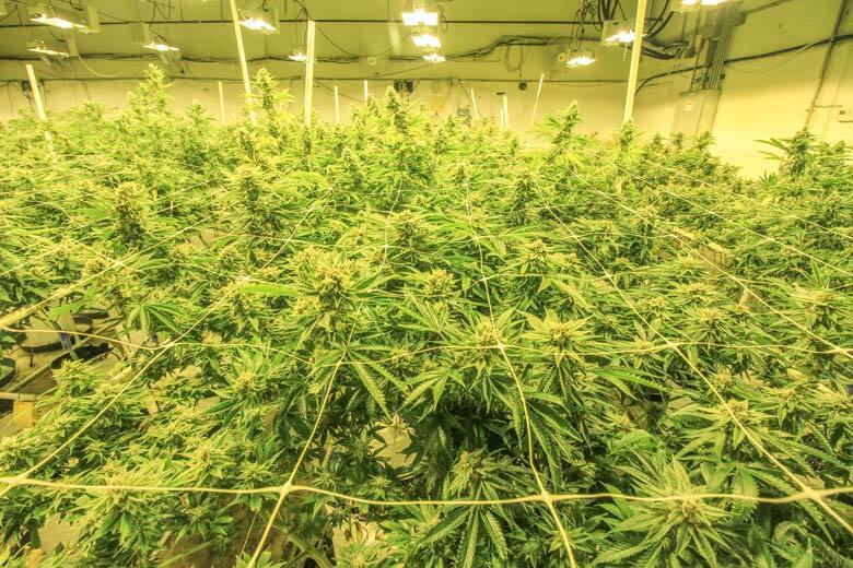 SCROG Cannabis Grow Method