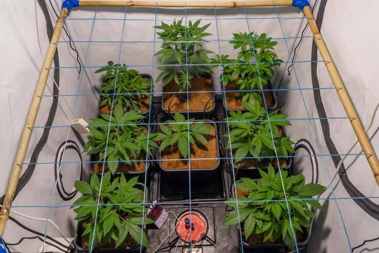 Bamboo scrog net under LED big light with young flowers of marijuana with self watering