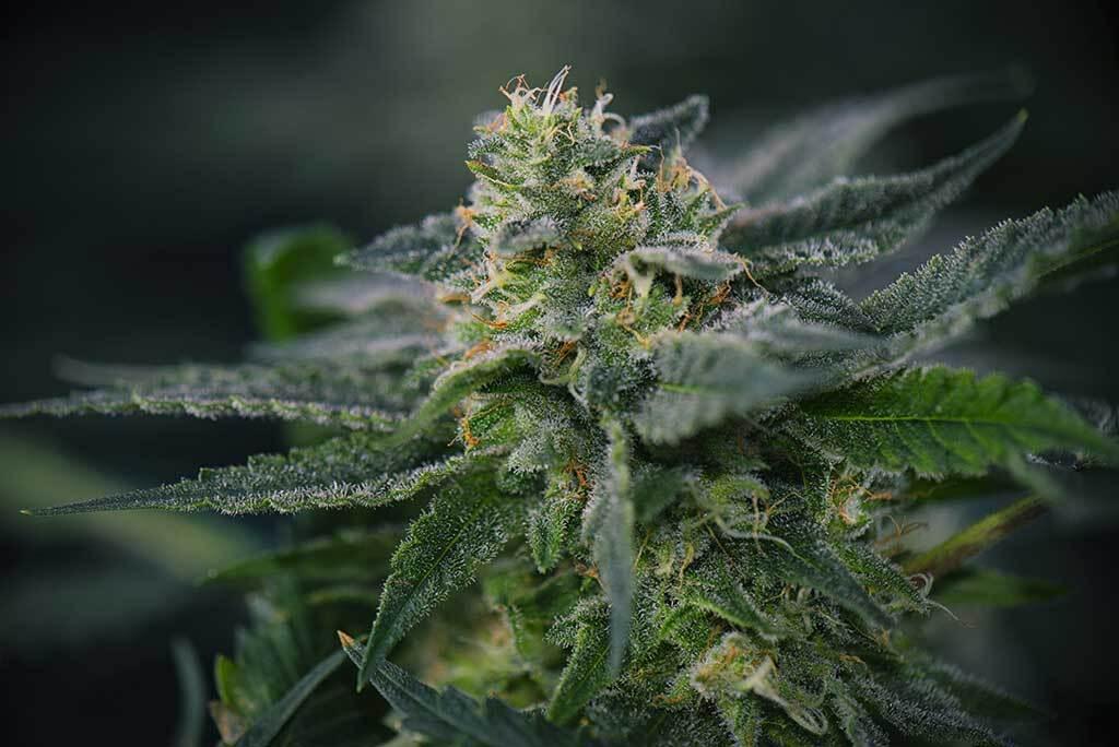 Detail Cannabis Cola Autoflower Plants