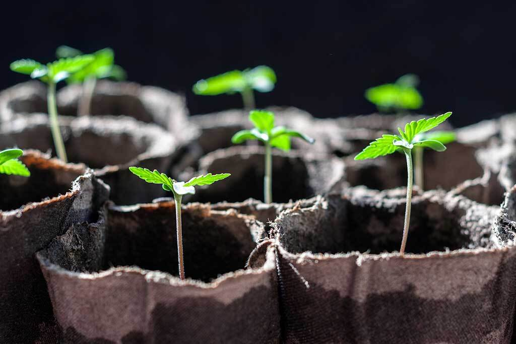 autoflower life cycle seedling of cannabis in planting pot